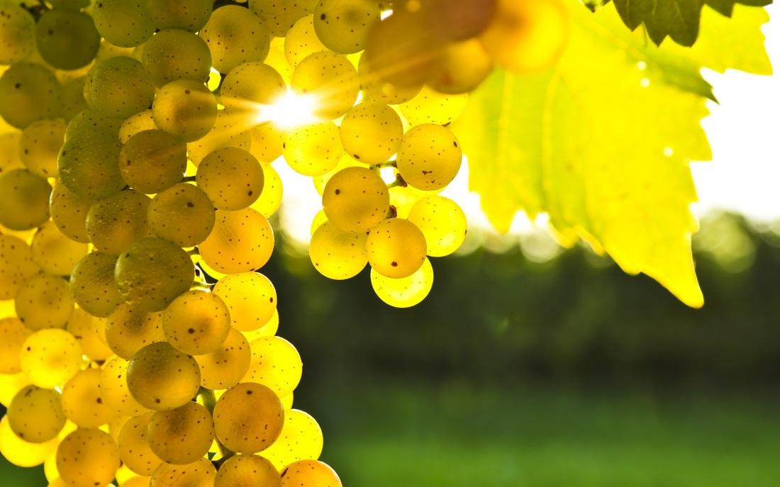 Виноград для шампанского - из какого винограда делают шампанское, сорта винограда для шампанского и влияние на вкус вина. Виды шампанского. Путеводитель по Франции, путеводитель по шампани, пино нуар, шардоне, шампанское блан де блан, шампанское blanc de noirs, шампанское blanc de blancs, Pinot Noir, Pinot Meunier, Chardonnay, скачать бесплатно, французское шампанское, шампанское из шампани, как делают шампанское, виноградники шампани, виноград из шампани, сорта винограда для шампанского