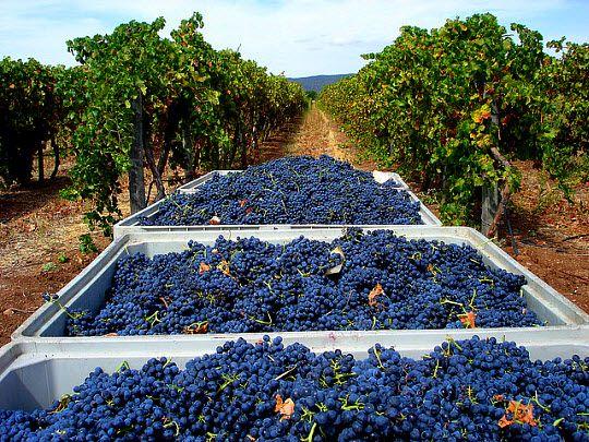 alentejo-uvas
