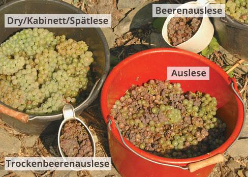 botrytis-grape