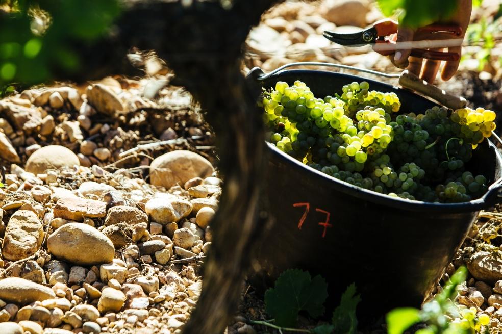 uva-grenache-blanc
